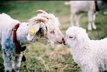 Goats Goats Goats - and a couple of sheep ;~} / Fiber babies and the unusual / by Julie Dunning-Konno