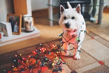 My Dog  / Once i leave my current job, i will get myself a westie dog and call him Archie / by Rob Grimes Photography