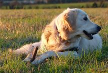 Pretty Polly / My lovely goldie girl #goldenretriever / by Paula Carter