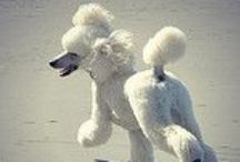 Poodles / by Patricia Hewitt