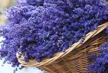 Lavender fields / by Sherri McMorrow