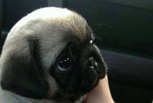 Pugs! / by Laura G.