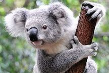 Australia's Cute Animals: Koalas / When you think of Australia, you think of koalas. You can find these little guys in Queensland, New South Wales, Victoria and South Australia.  / by Australia