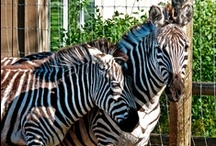 Africa / Step Into The Wild at the Greater Vancouver Zoo and visit some of our fascinating zoo residents with an African geographic origin! / by Greater Vancouver Zoo