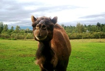 Asia / Step Into The Wild at the Greater Vancouver Zoo and visit some of our fascinating zoo residents with an Asian geographic origin! / by Greater Vancouver Zoo