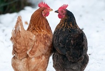 Chicken farm / by Laura-Rusty Cordle