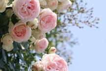 My rose-Garden / by Joke van Dijk