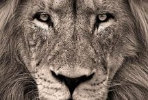 Lions / by trumpy finn