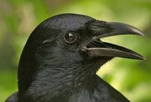 Crows and Ravens and other Black Birds / by Wynter Black