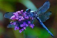Dragonflies / Beautiful dragonflies!   / by Geminigail
