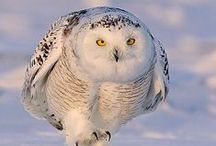 ♥ Freda's Magnificent Owls ♥ / Great photos, and some things to craft too.  My hubby favorite bird! The mighty Owl. / by Freda