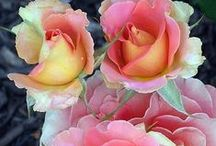 Garden Roses / Everything about Roses: selection, planting, watering, pruning, disease, viruses, insect pests, propagation, year round care, heirloom, history, rose crafts, using roses in food and beverages. / by Evelyn Vincent