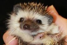 Hedgehog Love. / Hedgehogs are cuties! / by Sarah Takacs