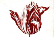 Tulips / by Elizabeth Downard