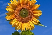I Luv sunflowers! / by Susie Sterland Reed