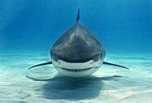 Shark Week / by Teresa Baydoun