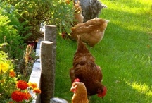 Chickens. The Girls / by Cheryl Aaron