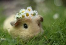 Animals: Rodents / mice, rats, porcupines, beavers, guinea pigs, capybara, gophers, chinchillas, hamsters, hutias, viscachas, tuco-tucos, agoutis, pacas, pacaranas, nutria, coypu, octodonts, jerboas, voles, gerbils, squirrels, chipmunks, prairie dogs, & marmots / by Susan Henderson
