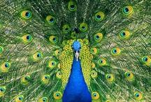 Peacock Pride / Peacocks are such brilliant looking birds.  / by Yolande