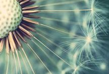 Dandelions / Thank you for sharing your pins! / Repin as many as you want. / by Tamara Llanes
