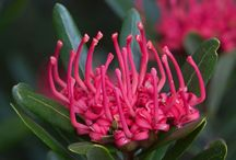 Australian Plants / Eucalpytus,  Bottle Brush, Wattle, and other lesser known varieties  / by Kylie Hodges