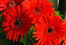 Gerberas / Combine the pleasing shape of Gerbera with bright luminous colors and you have an irresistible plant for today's gardens.   / by NationalGardenBureau