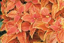 Colorful Coleus / Coleus adds dramatic leaf color and a diversity of leaf shapes to shady areas, and many new varieties tolerate some sun.  / by NationalGardenBureau