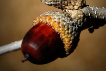 Acorns / by Susan Ziegler Hutsko
