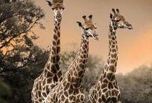 Africa / by Rebecca Pavlik
