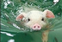 PIGS! / by Karen Aversa