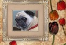 Available Pugs in Rescue / by Pug Rescue Network