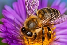 BEES - BEEKEEPING ETC. / Bees / by Therese' Pureveen