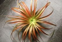 Tantalizing Tillandsias / I'm a sucker for any plant that asks so little from me.  Plus, they're just so darn cool… / by Rebecca Sweet | Harmony in the Garden