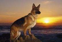 German Shepherds: The Most Beautiful Creatures Alive / by Bradford Combs