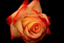 Rosa / Rose / by Gustavo Dalmasso