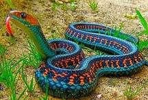 Lizards, Geckos, Frogs, Snakes & Such / lizards / by Marcea S