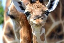 Giraffe love <3 / by Kendra Purscell
