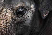 For the Never Forgetters / elephants, wise, animals, africa, india, ears, dumbo, never forget / by Tala Tillery