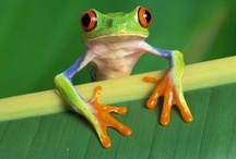 Fabulous Frogs ( red eyed tree frogs that is) / by Mar Hearts Chris Forever