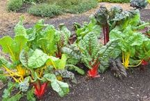 Veggie & Plants Hubs / Growing vegetables, flowers and plants from seed. New plant trials you can look for next spring. Heirlooms and Old Faithfuls I want to share. / by Patsy Bell Hobson