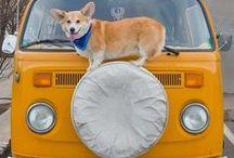 CORGI LOVE / Cardigans, Pembrokes & Cardi/Pem Dogs - I LOVE THEM! / by Aleta Ford Baker