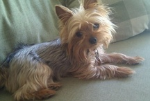 Oh Yorkies....how i love them. / by Mary Leister