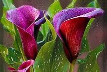 Calla Lillies for Sheila / by Trula Lewis-Hummerick