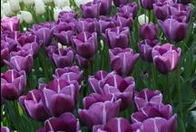 tulips. / by kiyoko