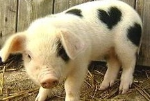 Pigs is Pigs  / these little piggies / by Cheryl Kuhl-Schadt