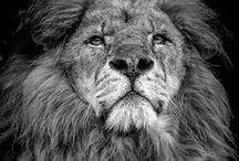Lions & Lions / by Roberto Bignoli