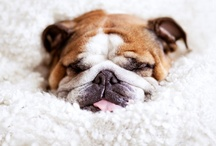 Bully Love / Why, hello there! Just thought you should know this board is pinned by me- Frida, a lovely english bulldog. / by Carol Nóbrega