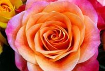 GARDEN: Favorite Roses / Roses are beloved around the world. Here, Birds & Blooms editors and readers share their favorite rose varieties for you to try! / by Birds & Blooms Magazine