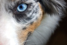 Pets - Owning an Australian Shepherd / by Donna Knox