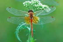 Nature---Dragonflies, Butterflies, Moths, and Bees / by Evelyn Thiele